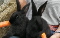 2 junge, männliche Kaninchen abzugeben, 11 Wochen alt (geb. 23.5.2019)